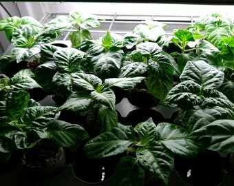 LIVE Ghost Pepper Plants - World Record Heat - FREE SHIPPING