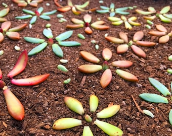 10 Succulent Leaves For Propagation of Succulent Rosettes Grow Your Own Colorful Succulent Leaf Cuttings