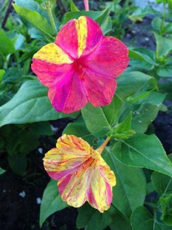 Four O'Clock Seeds ~ Mirabilis Jalapa ~ KALEIDOSCOPE ~ Hummingbirds ~ 15 Seeds