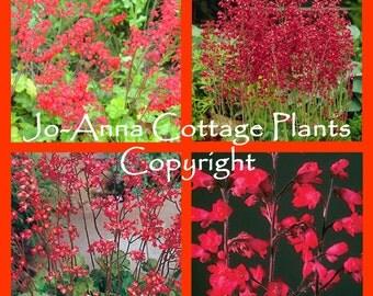 Heuchera Firefly Coral Bells - 1 LITRE POT
