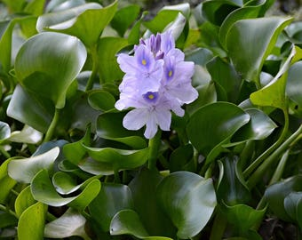 12 Water Hyacinth Plants - Pond Plant -Pond Flower - Great for Koi Ponds