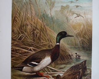 antique print wild duck 1895