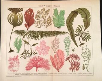 Seaweeds (Algea) - Original Vintage Print,  Antique Color Lithograph, Natural History Print