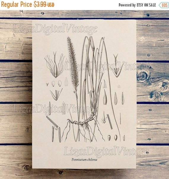 50% OFF Instant download print, Botanical print vintage, Antique print, Pennisetum, Fountain grass, Wall art vintage, Printable art, Art, JP
