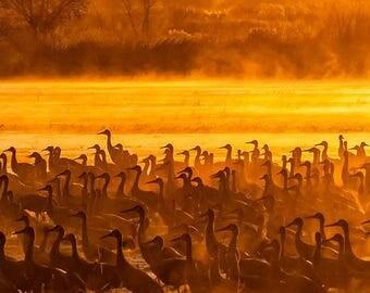 Canvas Ready to Ship: 10x20-- Sandhill Cranes, Orange Sunrise Mist, Rustic, Bosque del Apache, New Mexico, Nature Photography, Steve Traudt