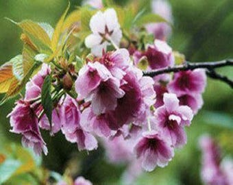 Japanese Sakura Seeds Bonsai Flower Cherry Blossoms Cherry Tree Ornamental Plant 10 Seeds (Item No: 10)