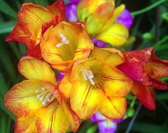 Freesia Hybrida Bulbs Potted Flowers Orchid Potted Plant (it is not seed) 5 Bulbs (Item No: 7)