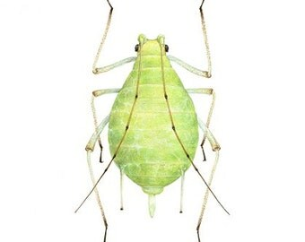 Pea Aphid A4 size limited edition art print