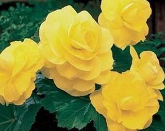 Double Yellow Begonia Flower Seeds/Tuberosa/Annual    20+
