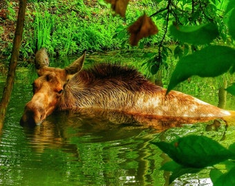 Moose 5x7 fine art photography print