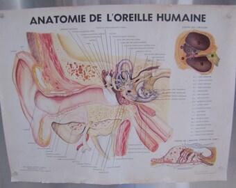 Vintage Anatomical Ear Poster, 1957 Ear Poster, Anatomical Body Poster, Medical Poster, Human Anatomy, Medical Illustration