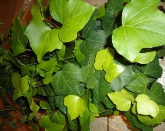 "18 pots English Ivy Ground Cover  in 4"" pots ,"