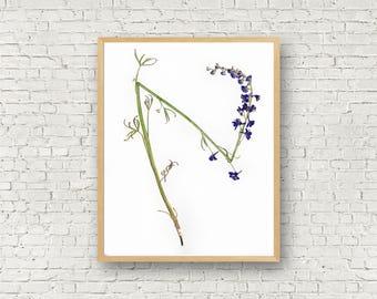 Larkspur Botanical Print - Modern Herbarium Gallery Art - Wall Art from Nature - Pressed Plant Purple Flower - California Wildflower Print