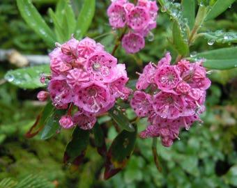 LIVE rare (in Europe) plant Kalmia very cold hardy broadleaf evergreen (-34C (-30F))