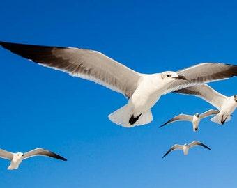 Bird photograph, Seagulls in flight, , Fine art nature photography,  bird nature photography, Nature Photography, Fine Art Photography,