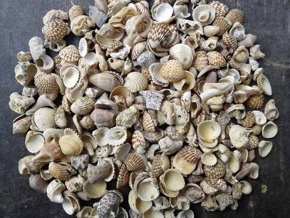 Small and tiny sea shells natural beach shells beach finds for Tiny shells for crafts