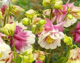 Aquilegia Petticoat Columbine Pink WildFlower Plant 15 Seeds Attracts Humming Birds #1119