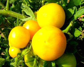 SALE Small Garden Peach Tomato Organic Non GMO 25 Seeds #1154