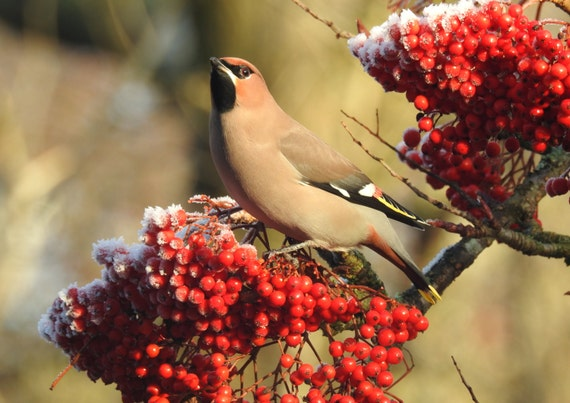 waxwing on a frosty berry tree