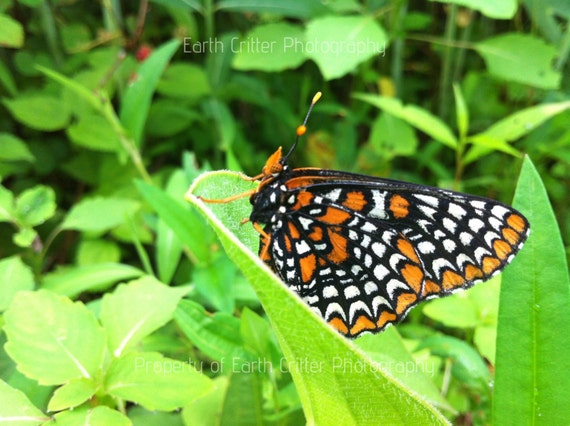 """Butterfly Photo Wall Art, Orange and Black Baltimore Checkerspot Butterfly Framed Photograph, 8x8"""""""