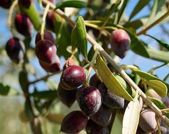 Olive Oil (Olea europaea) Organic Ice Pressed