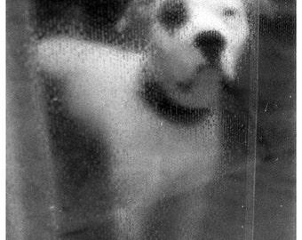 Dog in Florence gelatin silver print selenium toned photograph