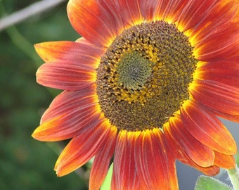 "RED SUN ""Helianthus annuus""  - 50+ SEEDS"