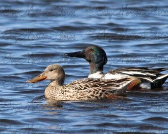 Northern Shoveler pair (8 x 10 photo)