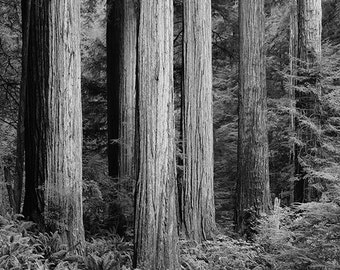 Redwoods matted fine art archival print
