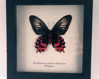Real butterfly framed - Atrophaneura semperi albofasciata