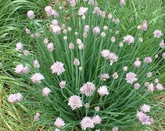 50+ Organic Garlic Chive Seeds, Non-GMO Heirloom