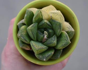 4 Inch Variegated Haworthia Cuspidata Succulent (RARE)