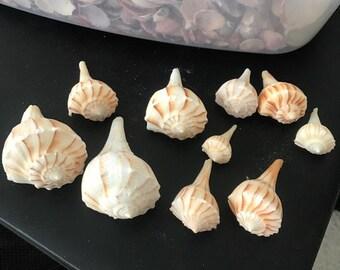 Florida Lightning Whelk Seashell
