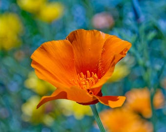 Colorful California Poppy Photo Print on Canvas