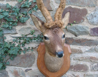 French Taxidermy Hunting Trophy Male Deer Head With Antlers In Velvet