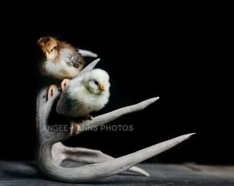 Chicken Photo, Farm Animal Photography, Farm Scene, Rustic Home Decor