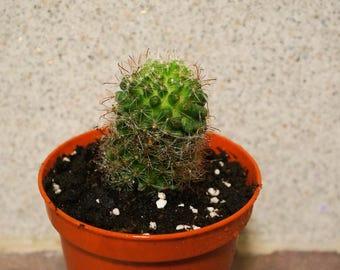 Cactus plant - Succulent