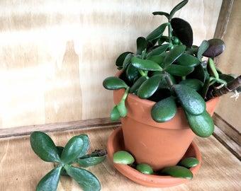 Jade Plant Cuttings (3 cuttings)