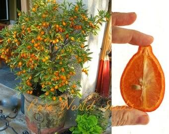 CITRUS 'Mandarinquat' (reticulata x fortunella) beautiful and Edible! SEEDS.