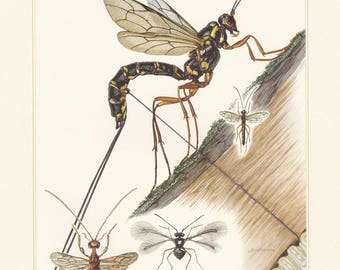 Vintage lithograph of the scorpion wasps or ichneumon from 1956