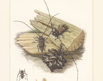 Vintage lithograph of cerambycidae, longhorn beetles, timberman beetle from 1956