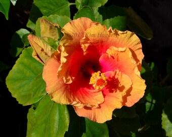 Hibiscus 0165 Yellow Multi