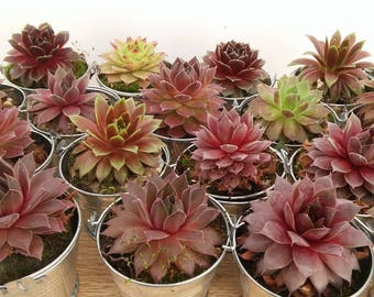 Coloré succulentes de Collection en argent seaux, grand mariage, Garden Party, marqueurs Seating Shower Favors