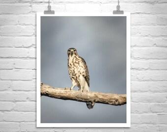 Hawk Bird Art, Bird Photography, Hawk Picture, Nature Photography, Wildlife Art, Bird on a Limb, Arizona Birds, Minimalist Art, Original Art