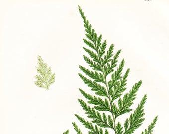 Black Spleenwort, Smooth Rock Spleenwort Fern Antique Print . Original Botanical Plant Chromolithograph Vintage Plate Circa 1860 . Plate 296