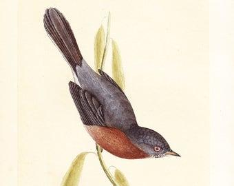 Antique Dartford Warbler Print . original old vintage bird plate woodblock . vol III, dated 1853 art specimen illustration