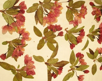 pressed crabapple flowers dried pressed flowers floral craft supply pressed flower art dark red pink crabapple blossoms and green leaves