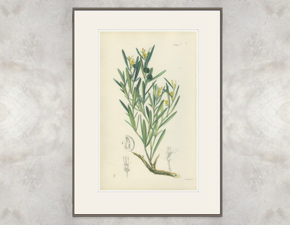 Spurge Olive, Antique Hand Colored Botanical Book Plate