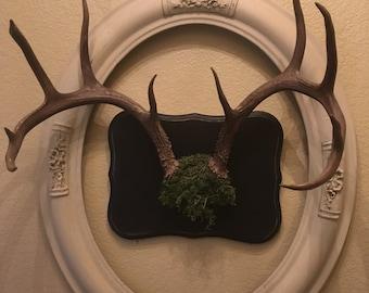 Deer mount on wood
