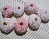 7 Pink Sea Urchin Shells  Crafts - Beach Decor - Airplants  2 3/4 to 1 1/2 inch